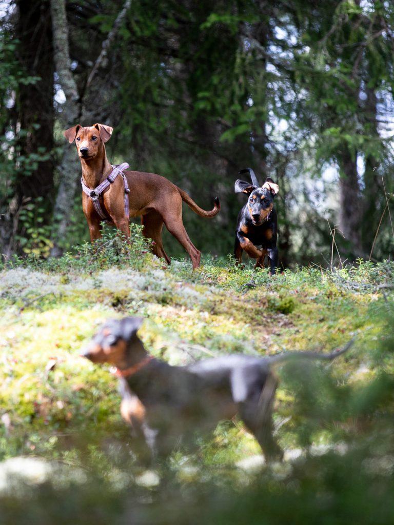 Pinscherhundar lösa i skogen